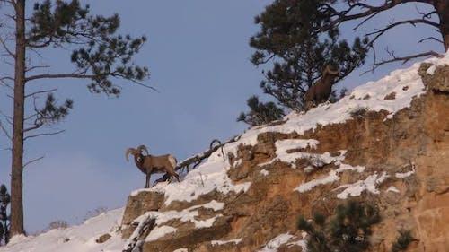 Bighorn Sheep Male Adult Pair in Winter Ridgeline Snow Cliff in South Dakota