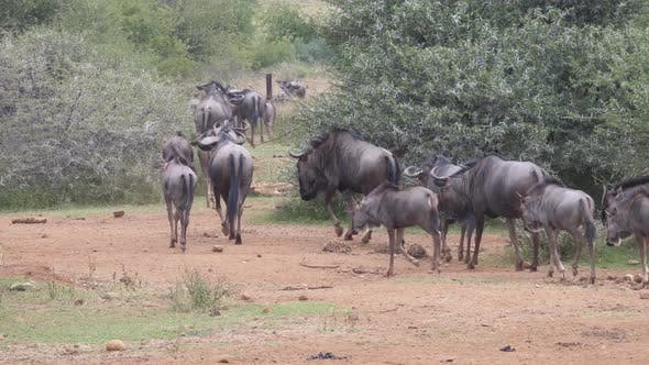 Thumbnail for Herd of wildebeest running away