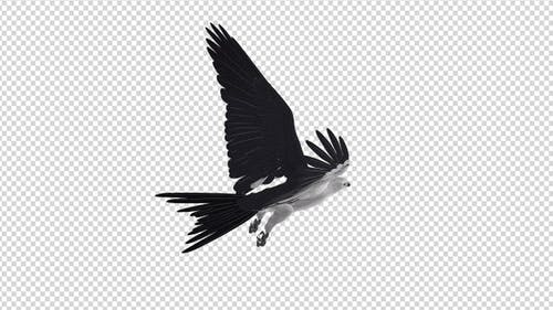 Swallowtail Kite - 4K Flying Loop - Back Angle