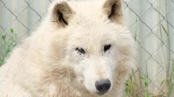The old white wolf does not see with his eyes. Vision problems in animals.