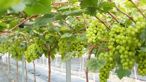 Thumbnail for Green fresh grape in the farm