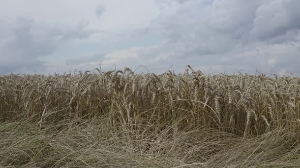 Thumbnail for View Of Wheat Spikelets Background