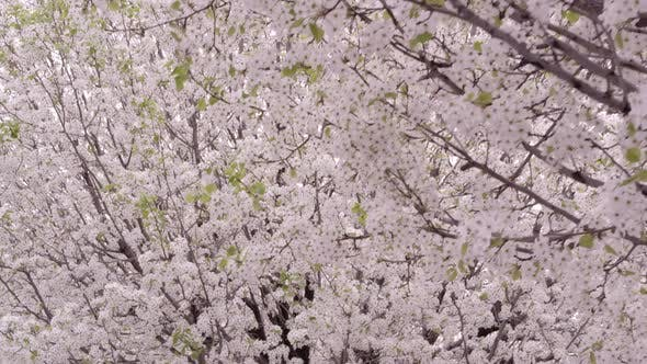 Thumbnail for Moving shot under blossoming trees.