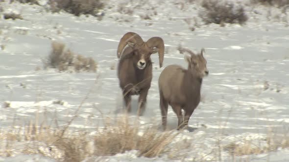 Bighorn Sheep Ram Ewe Male Female Adult Pair Breeding Chasing Trying To Mount in Winter