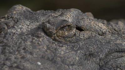Crocodile eyes and jaws