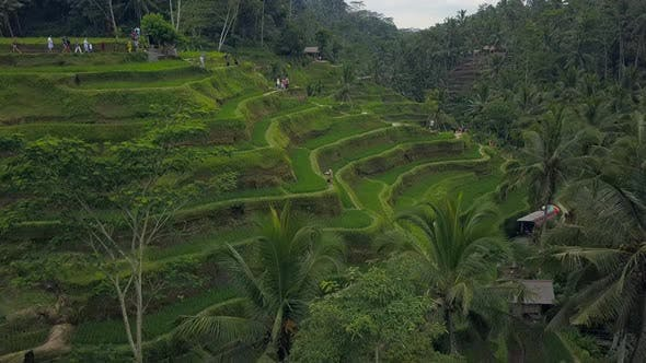 Thumbnail for Aerial View Above of Bali Landscapes with Terraces Rice Field.