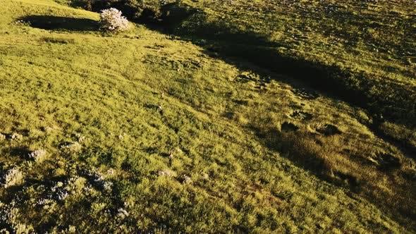 Drone Follows Flock of Wild Deer Running in Breathtaking Pastoral Grassland Landscape of Prairie
