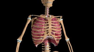 Lung Breathing Loop