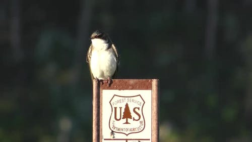 Tree Swallow Adult Lone Perched in Summer National Forest Service Sign Marker