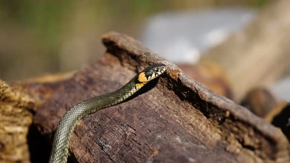 Thumbnail for Snake Wildlife