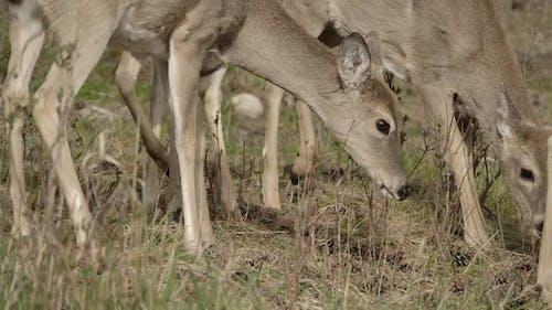 Mule Deer Doe Female Adult Immature Several Foraging Looking For Food in Spring Legs Feet On Ground