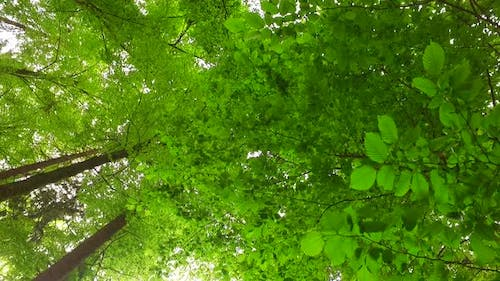 Spring Forest and Beech Leaves
