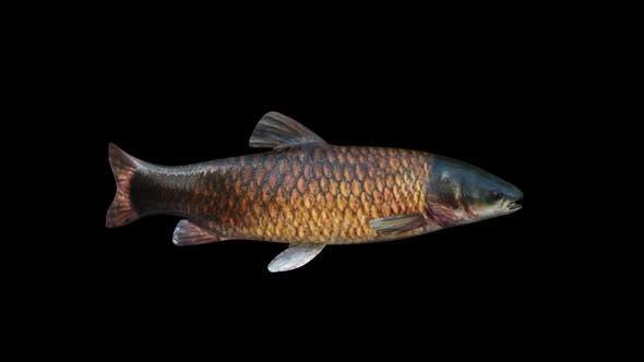 Thumbnail for Amur Fish