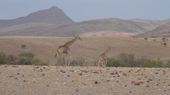 Mother and baby giraffe walk away on a dry savanna