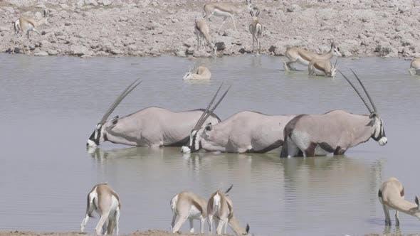 Thumbnail for Oryx and Springbok at Waterhole