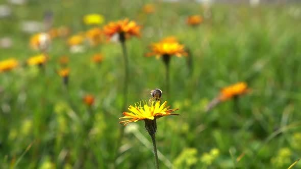 Cover Image for Bee Collects Nectar from Flower Crepis Alpina