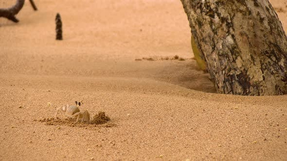 Thumbnail for Tropical Crabs in its Natural Habitat on a Golden Beach in the Caribbean