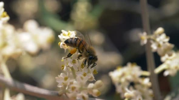 Bee Flower Dof Slow Motion