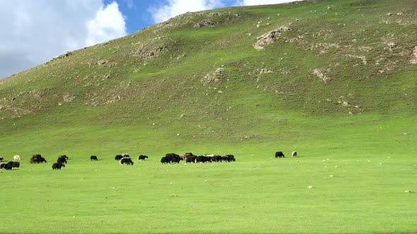Thumbnail for Free Tibetan Cattle in Their Natural Environment