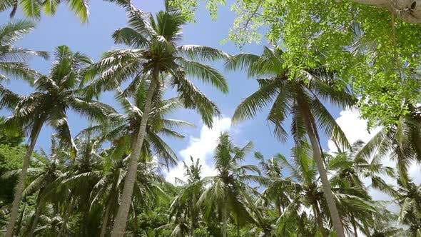 Thumbnail for Upper Branches of Palm Trees against the Blue Sky