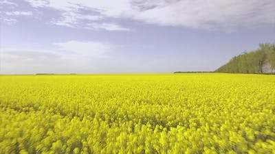 Yellow Field Of Canola Plant