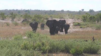 Herd of elephants on the savanna