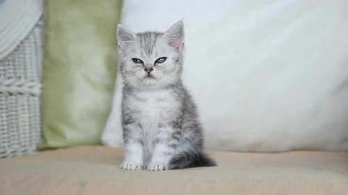 Cute Sleepy Persian Kitten Sitting On Sofa