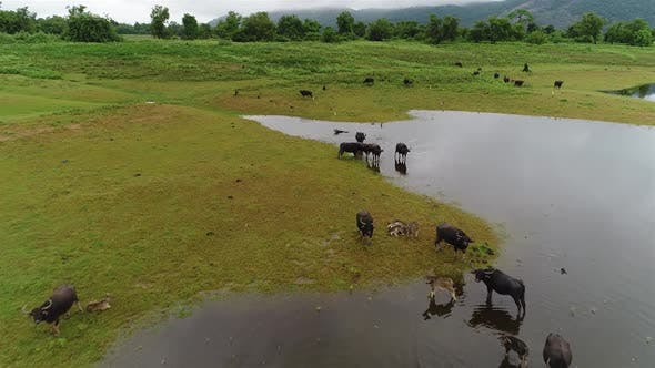 Thumbnail for Flyover Over A Herd Of Water Buffalo