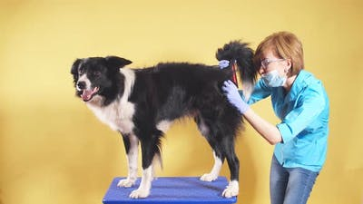 Professional Vet Doctor Checking a Tail of a Dog Woman Is Brushing a Pet