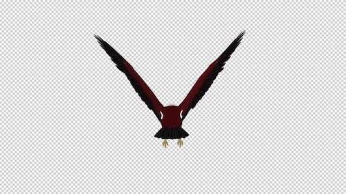 Brahminy Kite - Flying Loop - Back View