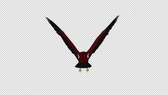 Brahminy Kite - Flying Loop - Back View