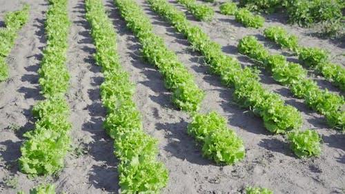 Wachsender grüner Salat auf dem Boden