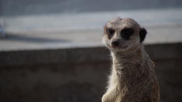 Thumbnail for Meerkat Family Member