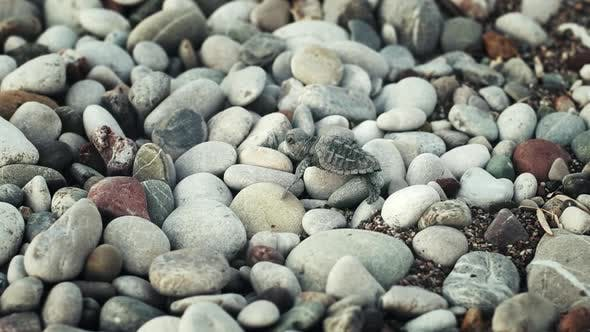 Thumbnail for Little Turtle Crawling Over Large Stones. Baby Turtle Walking Along Seashore