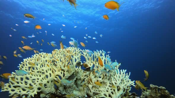 Cover Image for Marine Coral Garden Blue Orange Fish