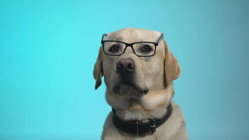 Funny Pedigreed Dog in Eyeglasses Posing on Camera