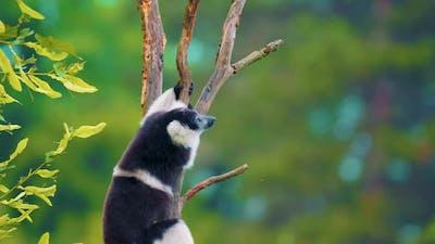 Blackandwhite Ruffed Lemur Climbs the Tree