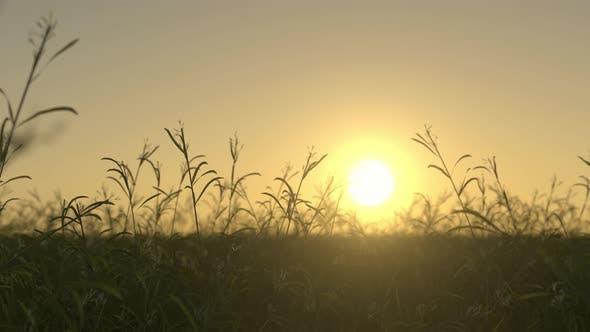 Waving Wild Grass On a Sunset