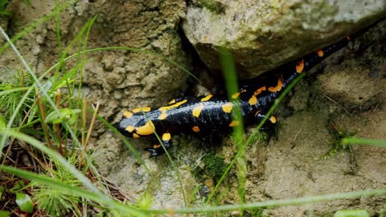 Thumbnail for Fire Salamander Lat. Salamandra Slowly Moves on Stones. Close Up