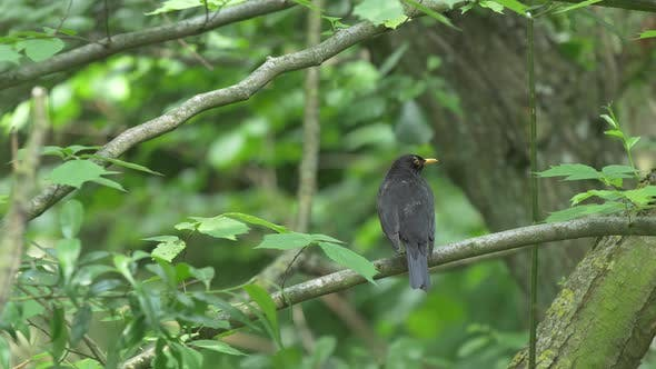 Thumbnail for Blackbird