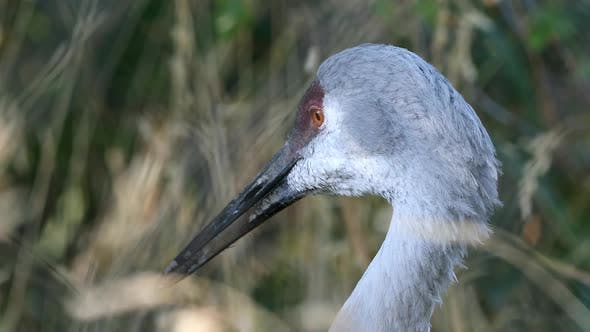 Thumbnail for Close up view of Sandhill Crane falling asleep
