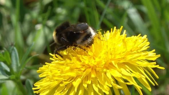 Thumbnail for Bumblebee on Yellow Dandelion Flower