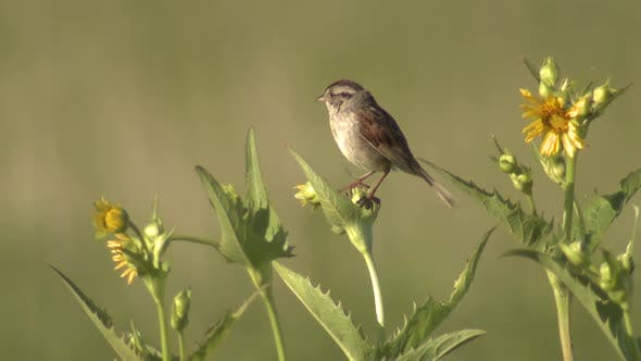 Thumbnail for Chipping Sparrow Male Songbird Calling Singing Song in Prairie Grassland