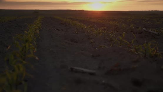 Corn Sprouts At Sunset. Young Shoots