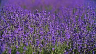 Lavender Field. Blooming Violet Fragrant Lavender Flowers. Growing Lavender Swaying on Wind Over